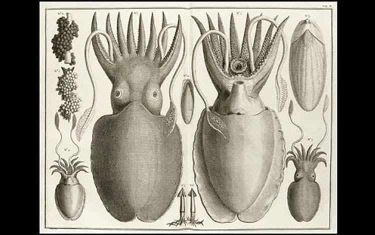19 Albertus Seba ilustración de calamares   Rialta