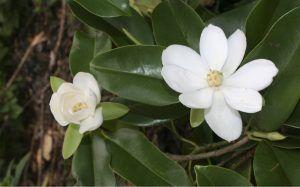 Magnolia | Rialta